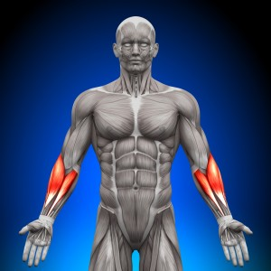 前腕の筋肉